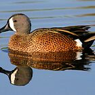 Blue winged teal with reflection by jozi1