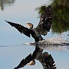 Cormorant landing by jozi1
