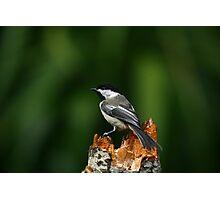 Black-capped Chickadee Photographic Print