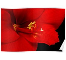 Colorful Amaryllis Bloom Poster