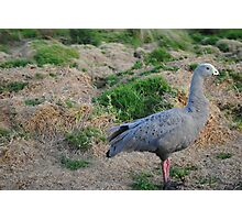 Cape Barren Goose, Phillip Island Photographic Print