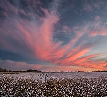Cotton Candy Above the Cotton Field by Susan Nixon