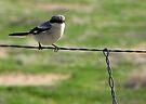 Loggerhead Shrike II ~ Marana, Az by Kimberly Chadwick