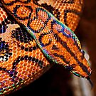 Brazillian Rainbow Boa by AnnDixon