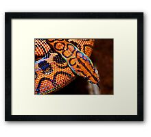 Brazillian Rainbow Boa Framed Print