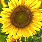 """Sun Catcher"" - Sunflower in Michigan by ArtThatSmiles"