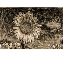 Vintage Sunflower  Photographic Print