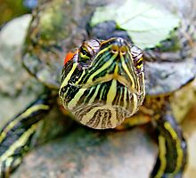 A nosey Red Eared Terrapin by AnnDixon