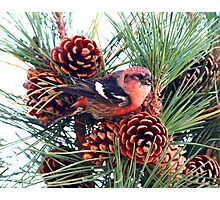White-winged Crossbill Photographic Print