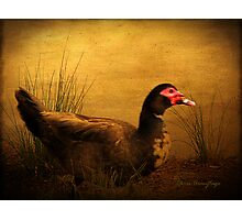 Maurice the Muscovy Photographic Print