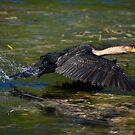 White-breasted Cormorant Taking Flight by RatManDude
