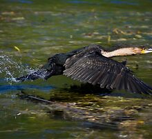 White-breasted Cormorant Taking Flight by RatManDude