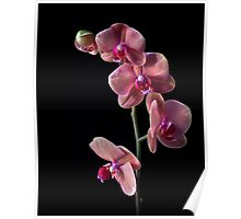 Phalaneopsis Cluster Poster
