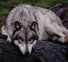 A wolf on a wet log by yair  leibovich