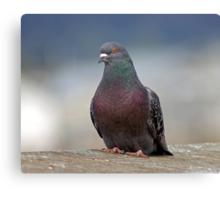 pigeon.... james pigeon Canvas Print