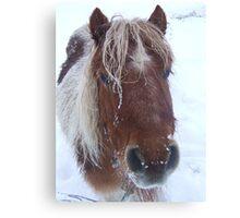 Icy Shetland Pony Canvas Print