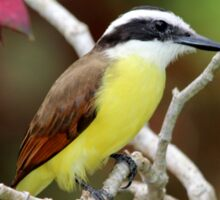 Great Kiskadee Sticker