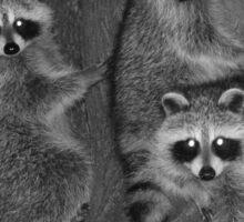 Three Baby Raccoons Sticker