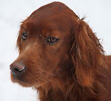 Red Setter by Pamela Jayne Smith