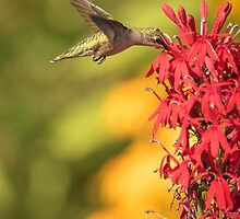 Ruby Throated Hummingbird 9-2015 by Thomas Young