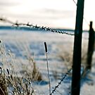 Barbed Wire Fence by Roxanne Persson