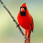 Red Cardinal by grrizzly