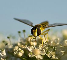 Hoverfly by Willem Hoekstra