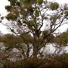 Tree and Mistletoe by Barbara Wyeth