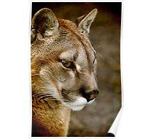 A pensive Puma portrait Poster