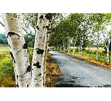 Birch Tree Lane Photographic Print