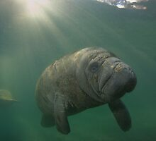 Manatee Mirror by Todd Krebs
