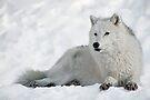 Arctic Wolf Portrait by Bill Maynard