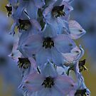 Delphinium . Norway . by Brown Sugar. Views - 297. by © Andrzej Goszcz,M.D. Ph.D