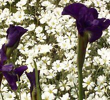 Iris Garden II by Graciela Maria Solano