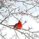 Male Northern Cardinal by Kent Schulte