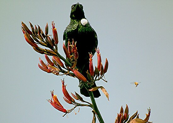 Tui on the Flax bush. by Roy  Massicks