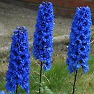 Royal Blue Delphiniums by MidnightMelody