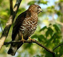 Broad winged Hawk by Enola-Gay Wagner