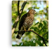 Broad winged Hawk Canvas Print