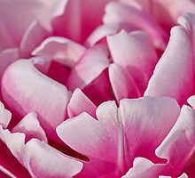 Touch of Pink Tulip by Lindie Allen