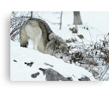 Crouching Timber Wolf Canvas Print