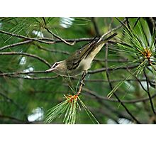Red Eyed Vireo Photographic Print