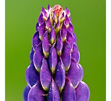 Lupin Dew Photographic Print