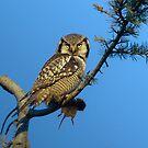Hawk Owl with Prey by David Friederich