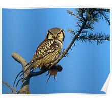 Hawk Owl with Prey Poster