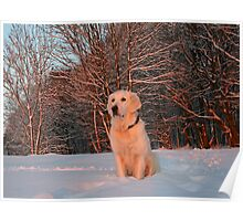 My Golden Retriever Ditte watches the winter sunset Poster