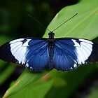 Heliconius Butterfly (Heliconius cydno galanthus) - Costa Rica by Jason Weigner