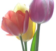 CANDY COLOURED TULIPS (#2) by bgoddard