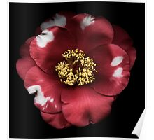 Red and White Camelia Poster