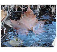 Submerged maple leaf Poster